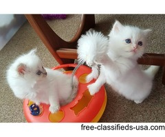 Beautiful 2.5 months old female pure breed ragdoll