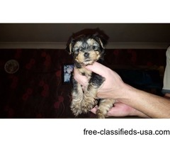 val's yorkie puppies for sale