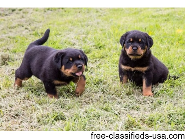 12 Week Old Pure Bred Rottweiler Puppies For Sale Animals