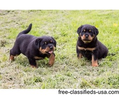 12 week old, Pure Bred Rottweiler Puppies For Sale