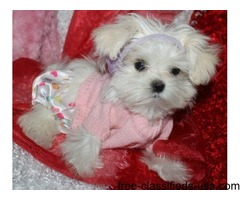 Cute Fluffy Maltese Puppies