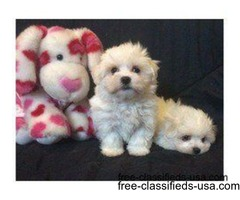 Gorgeous Playful Maltese male puppies