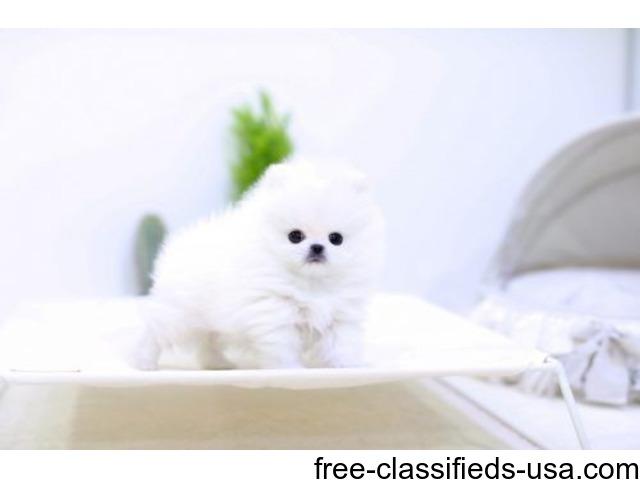 Charming Micro Toy Teacup Pomeranian Puppy Animals Buffalo New