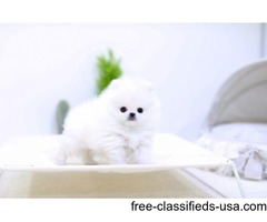 Charming Micro Toy Teacup Pomeranian puppy