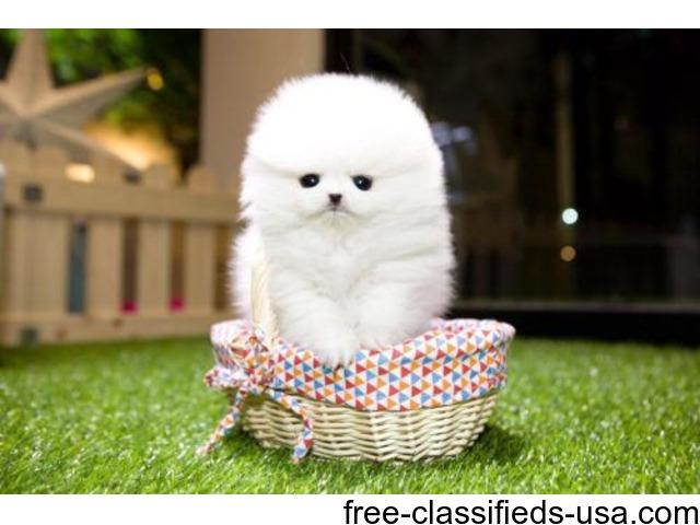 Gorgeous Micro Toy Teacup Pomeranian puppy | free-classifieds-usa.com