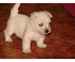 Great playful maltese puppies