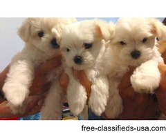 Cute Maltese puppies get one Just in time for Valentines Day