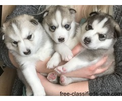 Beautiful And Healthy Siberian Husky Puppies
