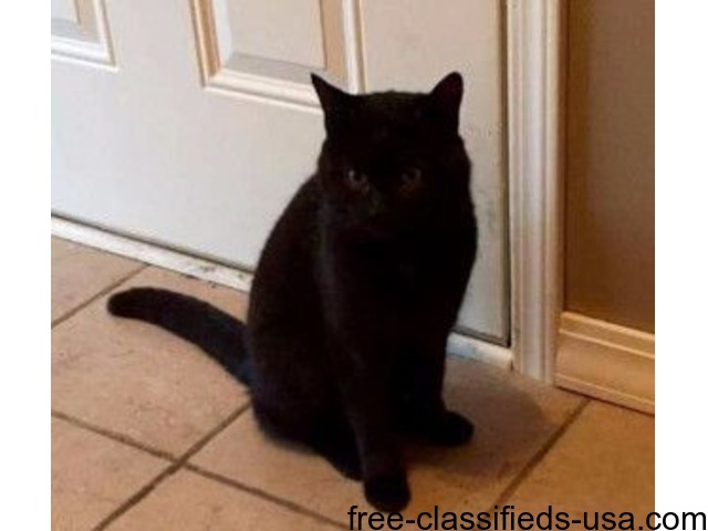 Lost black male cat | free-classifieds-usa.com