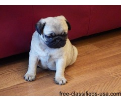 Breed:  Pug Puppies