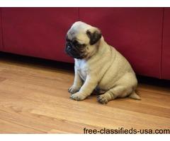 Beautiful Pug puppies, AKC Registered .