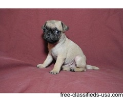 I have 1 Male and 1 female Pug Puppies