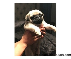 Gorgeous and affectionate MALE and FEMALE Pug puppies | free-classifieds-usa.com