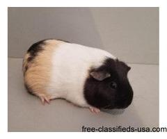 Female guinnea pig, my daughters allergic