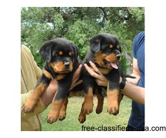 Healthy, Sweet, Rottweiler puppies