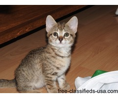 Available Savannah kittens