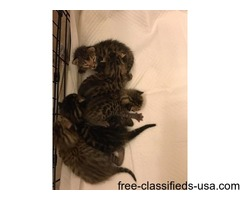 Adorable F1 Savannah Kittens For Re Homing
