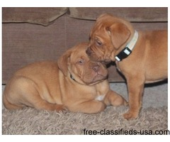 Dogue De Bordeaux pups for rehoming