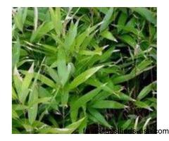 Shibataea Lancifolia