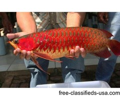 Black Diamond, super red arowana ,stingray and many other fishes for sale !!!