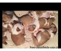 bulldogs puppies available
