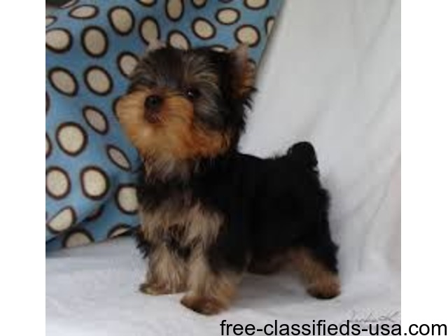 yorkie puppies for sale in philadelphia tiny adorable baby yorkie puppies for sale animals 8032