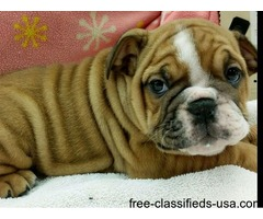 Male and female English Bulldog puppies available for adoption to good homes.