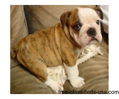 beautiful english bulldog puppies available