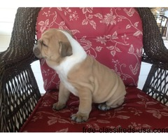 Healthy American bulldog puppies. NKC and ABRA registered