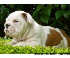 ENGLISH BULLDOGS PUPPIES AVAILABLE FOR SALE