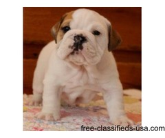 Affectionate male and female English Bulldog puppies