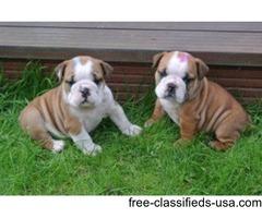 Amazing English Bulldog Puppies Available