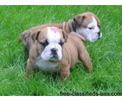 Two Amazing English Bulldog Puppies Available