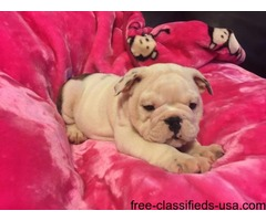 Neutered with papers Male and female English bulldog