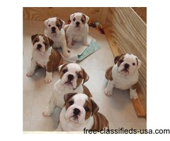 AKC registered english bulldog puppies available