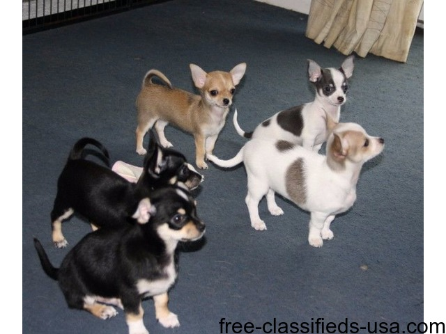 Chihuahua Puppies For Sale Animals Miami Florida