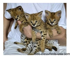 F1 Savannah kittens for adoption.