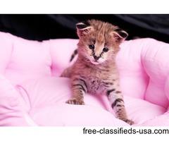 Cutest F1 Savannah kittens for adoption
