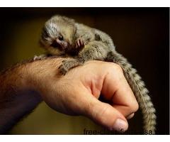 Beautiful baby marmoset monkeys for adoptionBeautiful baby marmoset monkeys for adoption