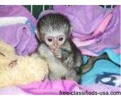 Adorable Capuchin and Marmoset Monkeys for Good Homes  (917) 737-5916
