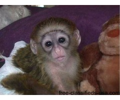 My husband and i are giving our cute baby Capuchin Monkey for adoption ...