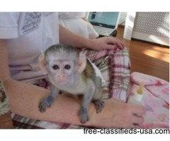 Adorable Capuchin  Monkeys for Good Homes  call or text for more details (917) 737-5916
