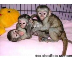 My husband and i are giving our cute baby Capuchin Monkey for adoption /.
