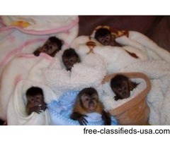 ,.My husband and i are giving our cute baby Capuchin Monkey