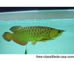 24K Golden Arowana Fish For Sale & Many Others