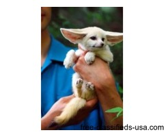 We Have Two Lovely Fennec Fox Available And Kinkajou For Sale
