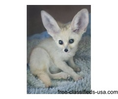 Babies Fennec Foxes Kits For Sale