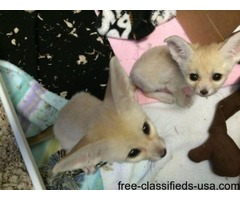 Trained Houshold Pets Male And Female Fennec Fox Kits For