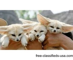 Adorable Babies Fennec Fox Babies For Sale