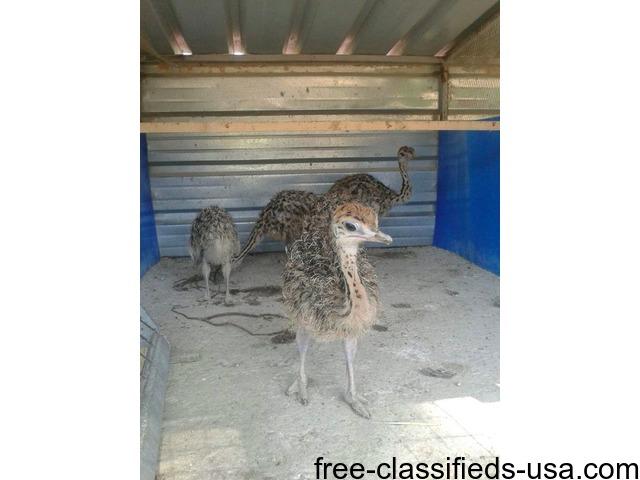 cdb24a0e957 Ostrich Chicks Emu Chicks and fertile Hatching Eggs. - Animals ...